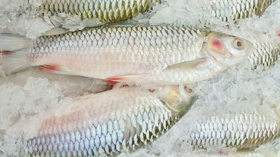 Fresh carp fish Jelawat Empurau Fish River Catch Uncooked Supermarket Natural Showcase: January Dishes Cuisine Market Food Close Up Raw Diet Animal Fresh Water Gut Gutting White Life Live Outdoors Ingredients