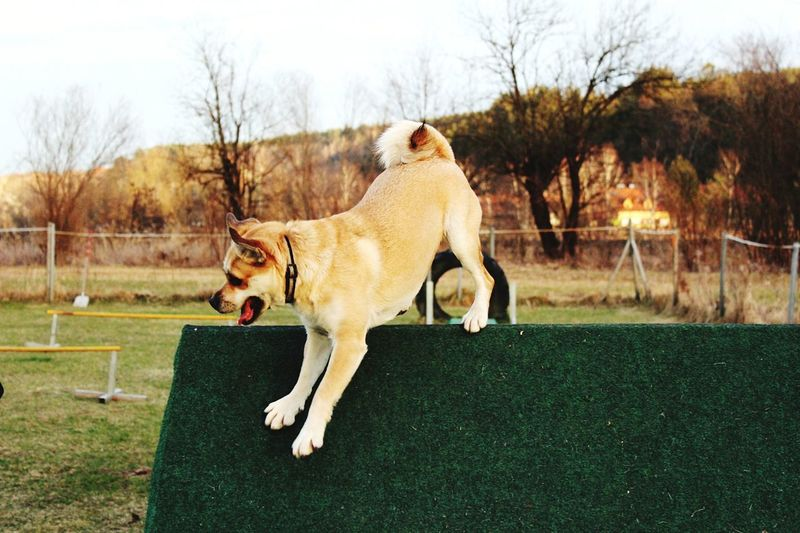EyeEm Selects Dog Pets One Animal Domestic Animals Motion Happiness Outdoors Cheerful No People Sky Protruding Grass Bare Tree Fun Dancing Obstacle Course Dogtraining Puggle Life Puggle