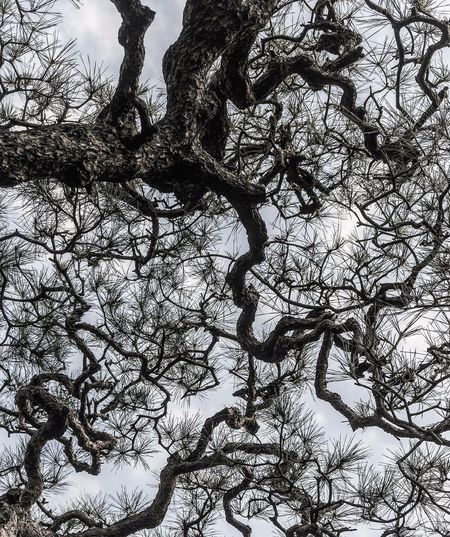 EyeEm Diversity Tree Branch Bare Tree Nature Low Angle View Outdoors Tree Trunk No People Sky Beauty In Nature Day Winter Close-up Nature Photography Space Janpan Nature Beauty In Nature Pine Tree Kikakuji Fineartphotography Sky And Trees Kyoto Art Is Everywhere