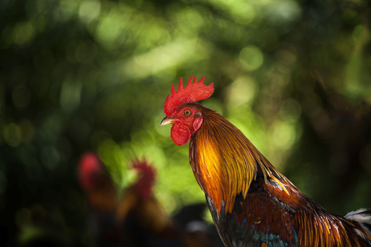 Animal Themes Chicken - Bird Livestock Animal Domestic Animals Chicken One Animal Domestic Male Animal Vertebrate Pets Rooster Focus On Foreground Close-up No People Red Day Outdoors Animal Head  Profile View