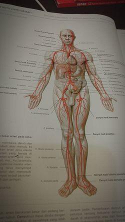 Garis besar arteri pada sirkulasi sistemik In A Lab Bahasaindonesia Anatomi