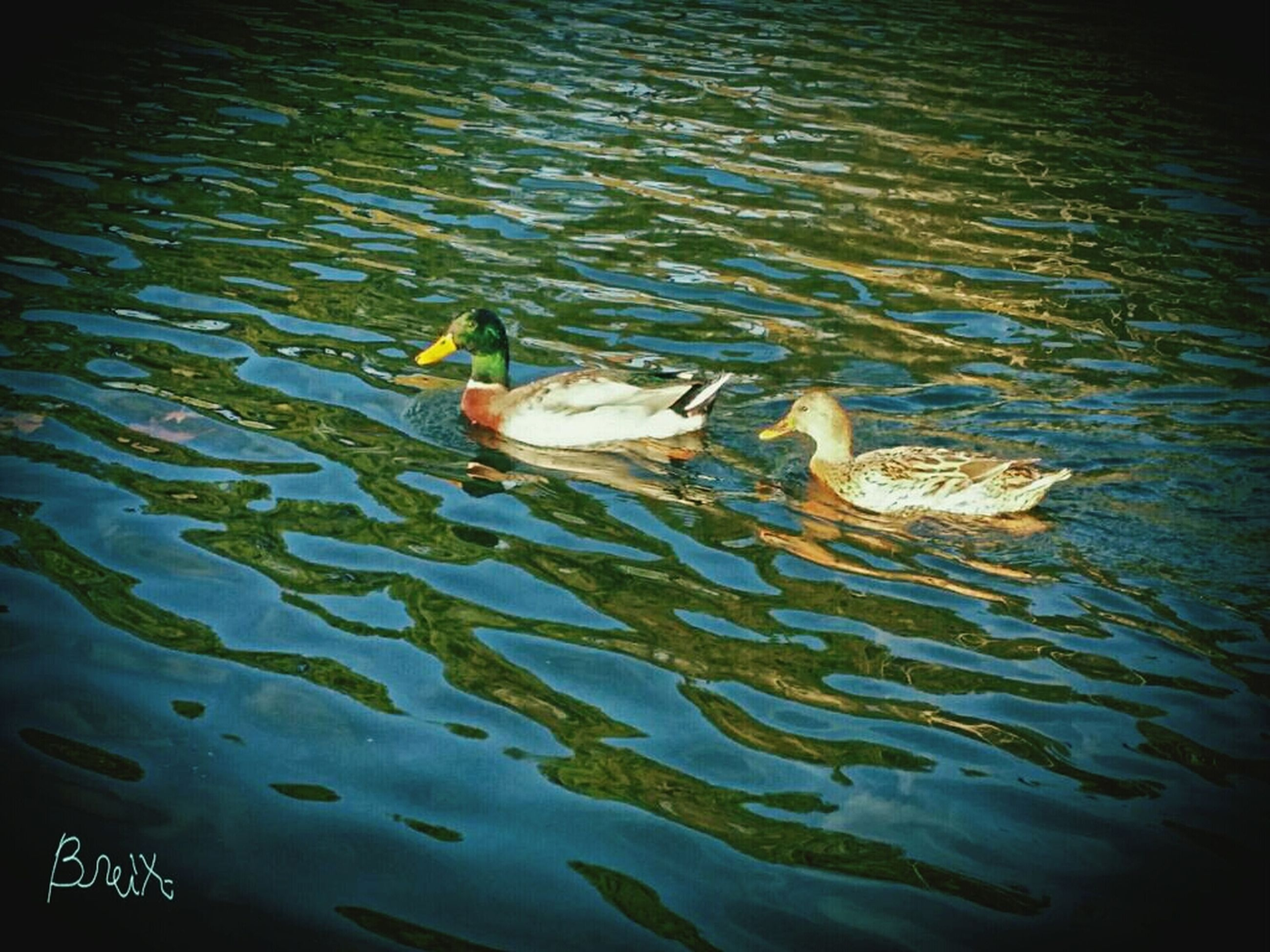 animal themes, animals in the wild, wildlife, water, swimming, one animal, bird, lake, high angle view, waterfront, reflection, duck, two animals, nature, floating on water, water bird, pond, rippled, fish, zoology