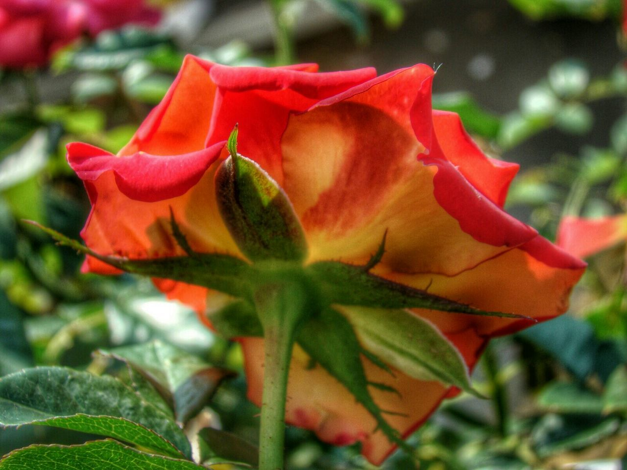 flower, petal, nature, growth, fragility, beauty in nature, plant, flower head, rose - flower, close-up, leaf, freshness, outdoors, red, day, blooming, no people