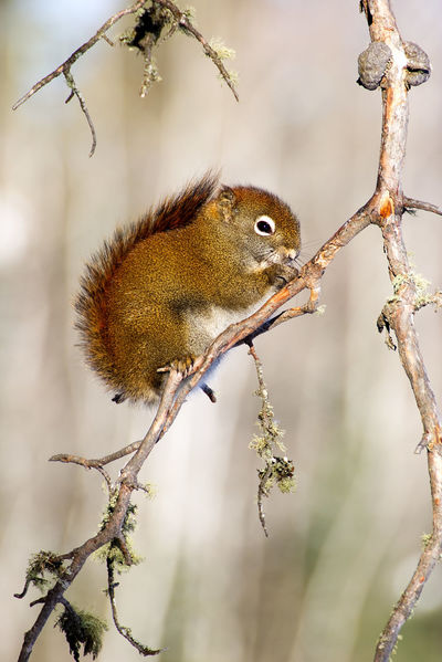 Red Squirrel on a branch in northern Ontario, Canada. Red Squirrel Squirrel Animal Wildlife Animals In The Wild Beauty In Nature Branch Close-up Focus On Foreground Nature One Animal Perching Tree Twig