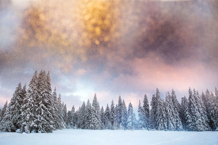 Panoramic view of pine trees during winter against sky