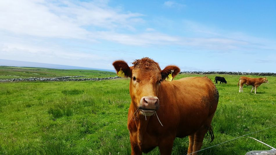 Irland Cow Costal Region First Eyeem Photo Milk Cheese Green Grass First Eyem Photo