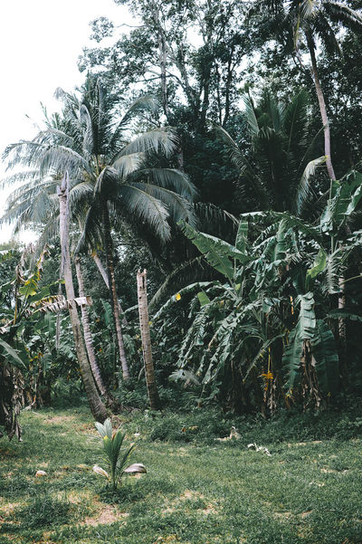 Phuket Thailand Beauty In Nature Coconut Island Day Growth Landscape Nature No People Outdoors Palm Tree Tree
