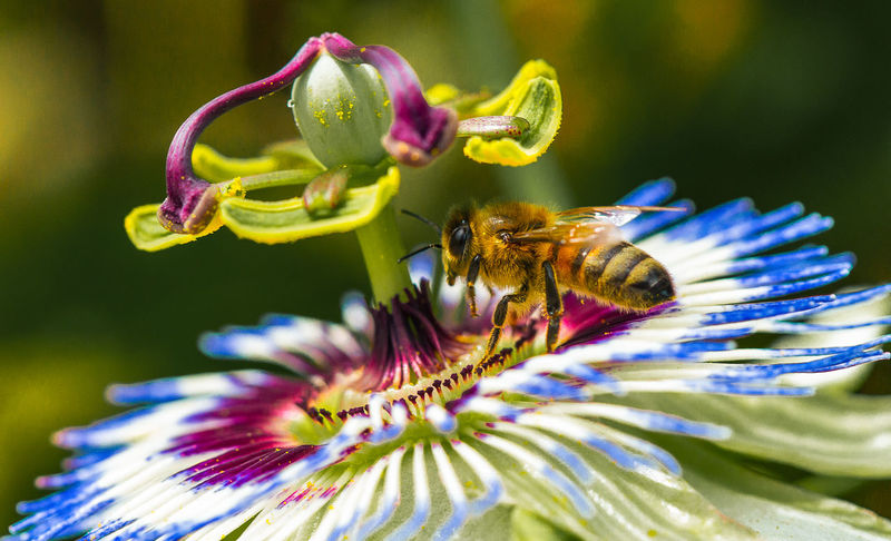 European Honey bee on a passion flower Flower Flowering Plant Beauty In Nature Plant Petal Flower Head Close-up Insect Invertebrate Animals In The Wild Inflorescence Animal Wildlife Animal Themes Animal Pollen Nature Pollination Purple Macro Macro Photography Shepparton Upclose  European Honey Bee