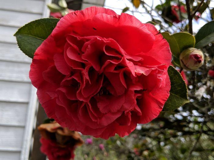 Redrose 🌷🌷🌷
