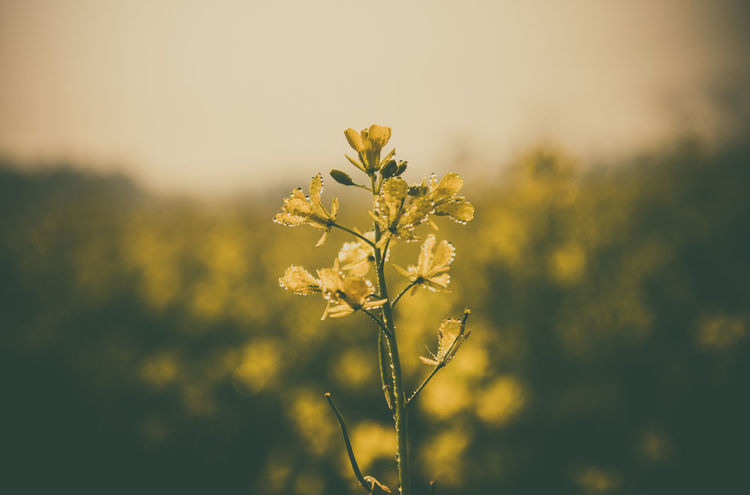 Beauty In Nature Blooming Blossom Close-up Day Field Flower Flower Head Focus On Foreground Fragility Freshness Growth Nature No People Outdoors Petal Plant Sky Springtime Tranquility Yellow