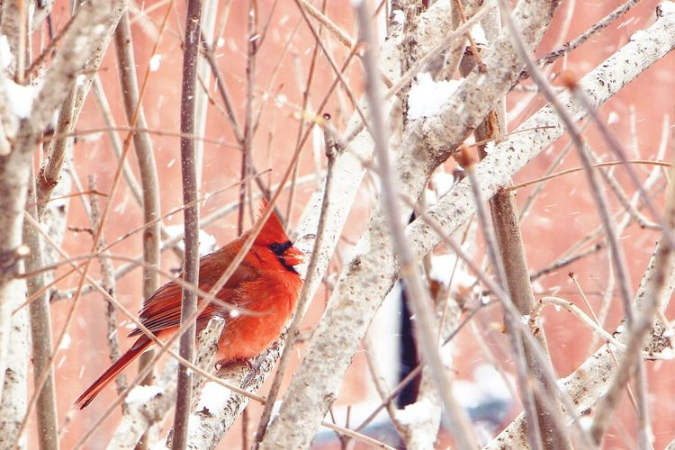 A Cardinal, on a snowy Christmas morning. Close-up Feather  Christmastime Cardinal Birds Birds Of EyeEm  Red Trees Branches Outside Animals In The Wild Animals No People Full Frame Day Nature Outdoors Bird Shades Of Winter