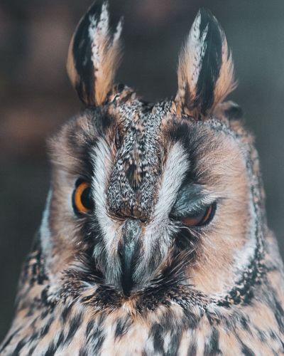 Owl Animal Themes Mammal One Animal Vertebrate No People Pets Portrait Animal Wildlife Looking At Camera Animals In The Wild Animal Head