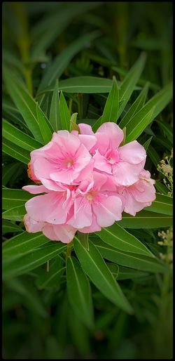 bloom Flower Head Flower Leaf Pink Color Close-up Plant Green Color