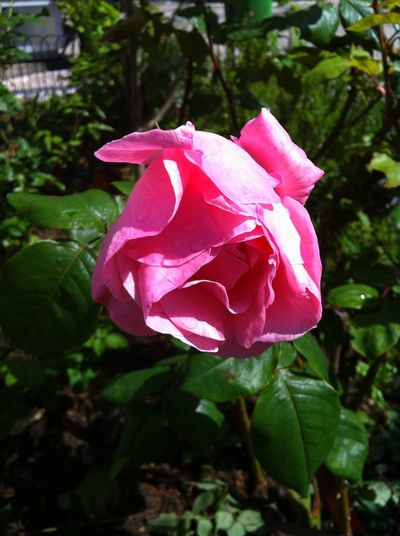 @Boanoite ......linda rosa 🌹🌹🌹