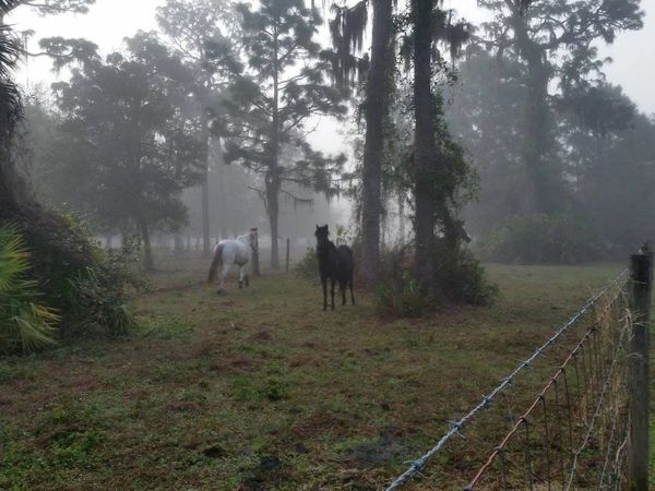 up early with the horses Barbed Wire Florida Gray Horses Misty Morning Morning Fog Morning Light Pine Trees