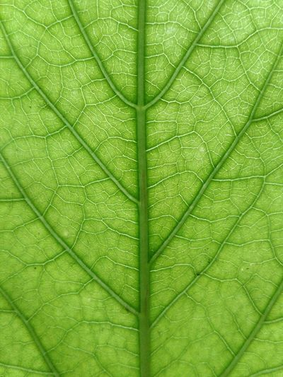 Leaf Green Color Nature No People Textured  Outdoors Plant Day Close-up Symetry Nerves