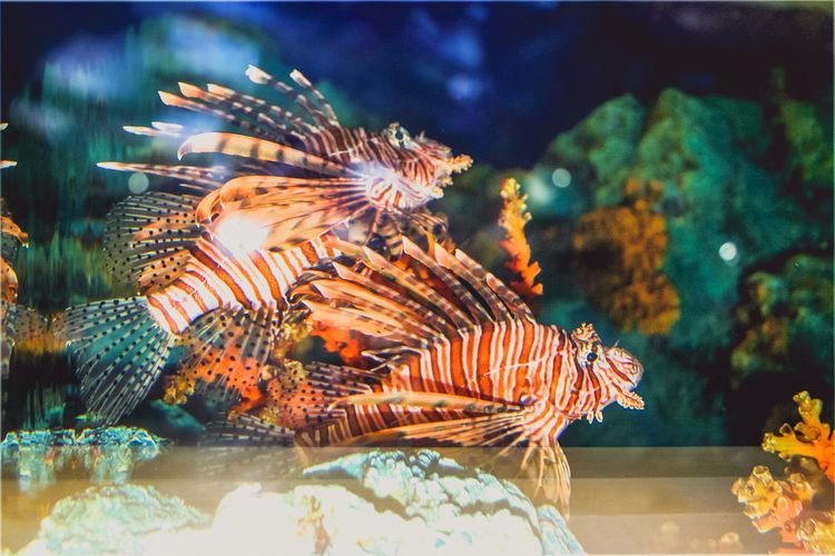 Close-up of lionfish swimming in aquarium