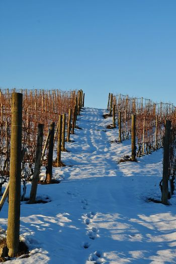 Snowed Hill Langhe Landscape Rural Scene Tranquility Beauty In Nature Travel Destinations Hill Vineyard Vineyards In Winter Top Of The Hills Outdoor Snowy Snowed Frozen Nature Frozen Snowy Hill Cold Temperature Snow Winter Outdoors Sky Blue Day No People Nature Clear Sky
