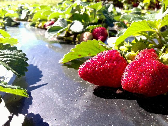 Fruit Nature Freshness Red Food Beauty In Nature Morangos Agriculture Photography Agricultural Land