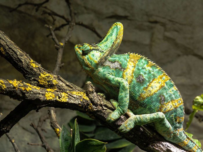 Close-Up Of Chameleon On Branch