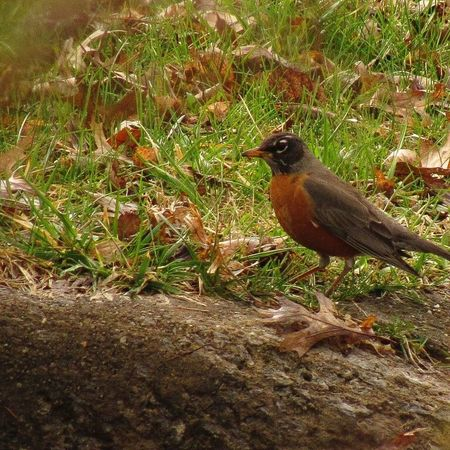 Animal Themes One Animal Bird Nature Sunlight Animals In The Wild No People Outdoors Day Grass Perching Mammal American Robin Ohio