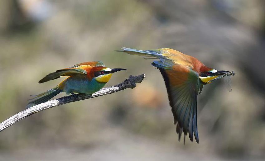Fly gruccioni