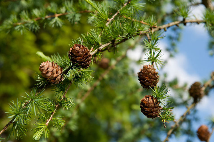 Larix polonica or Larch small cones on twig, Larix is deciduous tree with groups of buds, shoots and small cones, leaves are needle-like. Photo taken in may in Poland, late spring season in sunny day. Buds Close-up Cone Cones Conifer  Coniferous Tree Detail Larch Larix Larix Polonica Nature Needle Needles No People Shoot Shoots Tree Twig