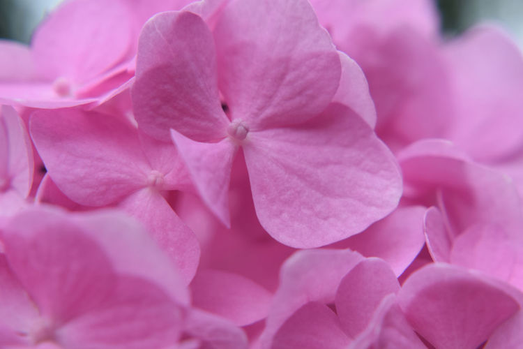 Hydrangea Backgrounds Beauty In Nature Bunch Of Flowers Close-up Day Flower Flower Head Flowering Plant Fragility Freshness Full Frame Growth Inflorescence Lilac Nature No People Outdoors Petal Pink Color Pink Flower Plant Selective Focus Springtime Vulnerability