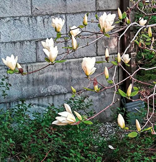 Magnolia moment ~ Stone Building Magnolia In Portland Maine USA Beautiful Flower Happiness White Flower Spring Flowers Nature_perfection Beauty In Nature Springtime No People Tranquility Nature Lover Color Of Life Loving The Landscape Park In The City Flower Tree Branch Leaf Grass Plant Flower Head Blooming In Bloom