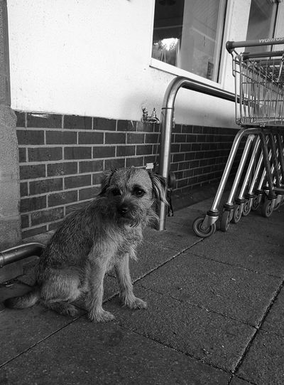 Dog Waiting Little Dog Supermarket Black And White Pets Lost In Thought...