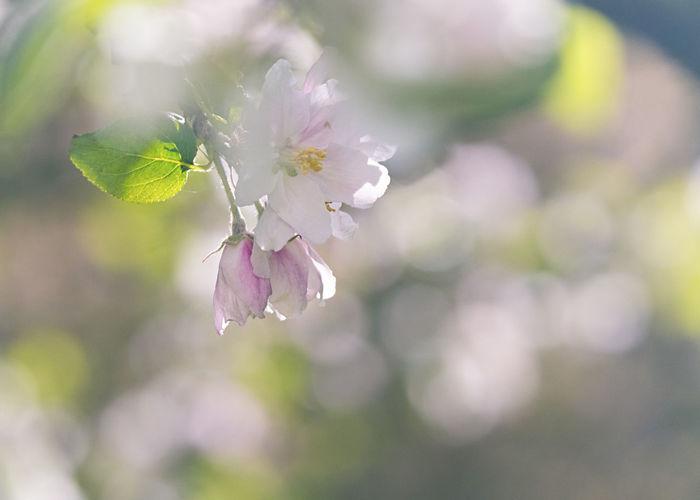 Close-up of purple cherry blossom