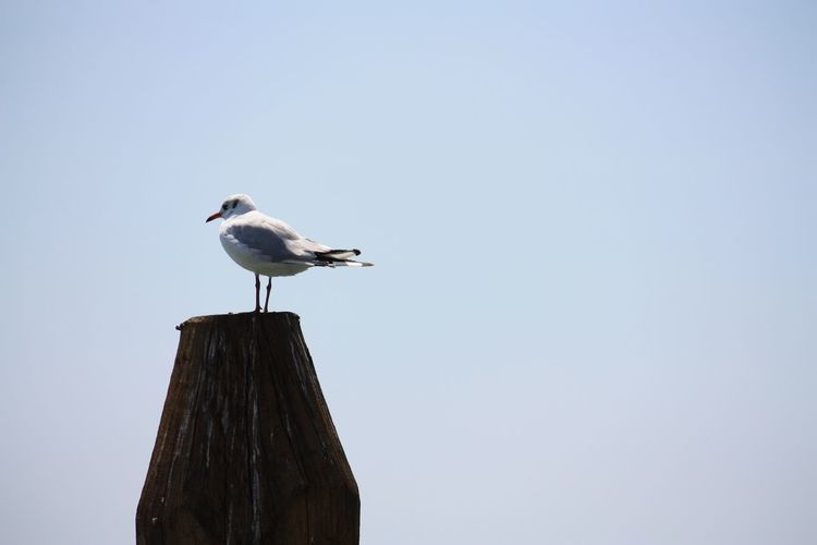 Close-up of seagull perching on clear sky