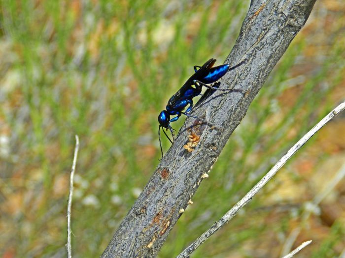 Steel Blue Cricket Hunter Arid Arid Climate Arizona Beauty In Nature Blue Close-up Cricket Hunter Day Focus On Foreground Growth Insect Metallic Metallic Blue Nature No People Outdoors Phoenix Selective Focus Steel Blue Steel Blue Cricket Hunter Tranquility Twig Wasp Wings Wood - Material