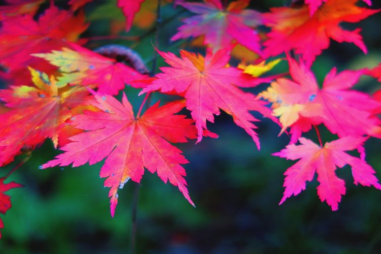 紅葉 Autumn Colors Autumn Leaves Color 日本 Japan Japanese  Stately 風流