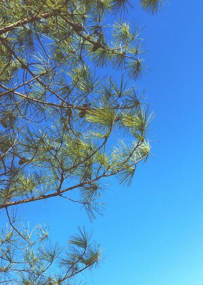 Blue Sky Pine