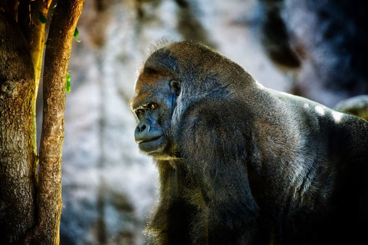 Gorilla looking away in forest