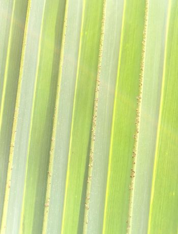 Lines in the palm fronds .. Palm Palm Tree Lines Green Color Full Frame Nature Close-up No People Day Outdoors Eyes Tree Macro Saudi Arabia Macros Saudiarabia Macroshot Saudi_arabia Huawei P9 Plus Macroshot Growth Saudi Arabia Growth Nature Plant Green Color