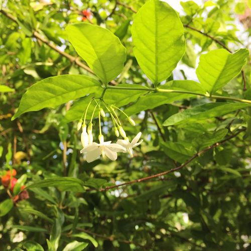 Wild water plum Flower Growth Nature Leaf Beauty In Nature Fragility Petal Green Color Freshness White Color Plant Tree Flower Head Blossom Branch Springtime Day Outdoors Blooming No People Wild Water Plum White