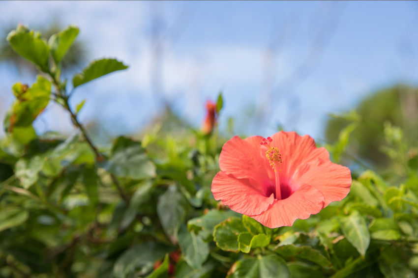 A red flower. Green Morning Okinawa Sunlight Travel Vacations Beauty In Nature Blooming Blue Sky Close-up Day Flower Flower Head Focus On Foreground Freshness Green Color Growth Hibiscus Island Leaf Nature No People Outdoors Plant Red