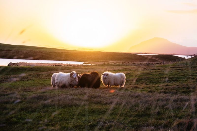 Sheep On Field Against Sky During Sunset