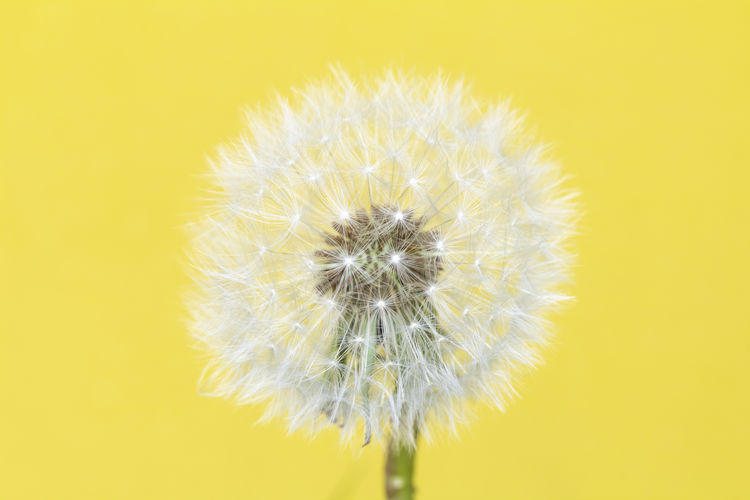 Close-up of dandelion against yellow background
