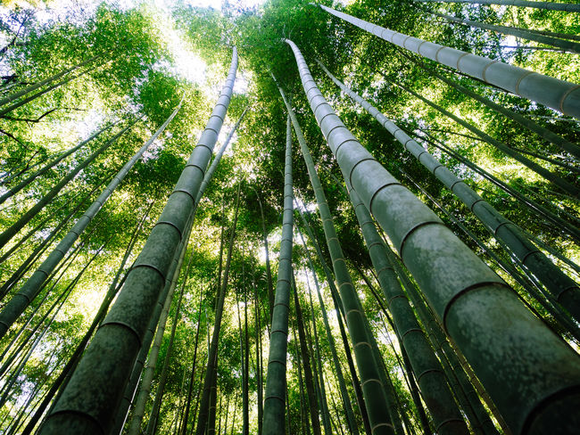 Bamboo forest Bamboo Bamboo - Plant Bamboo Forest Beauty In Nature Green Green Color Low Angle View Nature Outdoors Scenics Tall Tranquil Scene Tranquility Tree