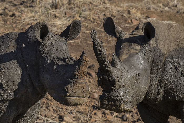Mudbath Africa Animal Animal Wildlife Animals In The Wild Day Mammal Mud Mudbath Nature No People Outdoors Rhinoceros Safari Animals Togetherness